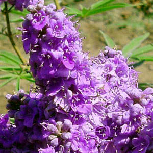 Purple Vitex Tree