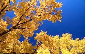 Winged Elm Tree