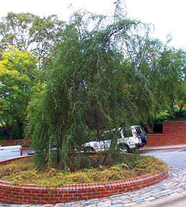 Weeping Yaupon Holly Tree