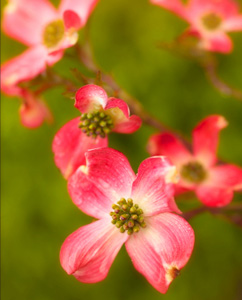 Cornus florida rubra 'Indian Princess' Pink Dogwood