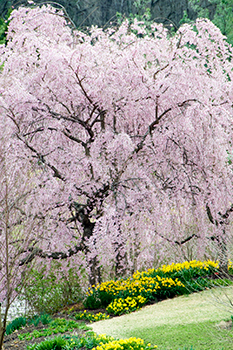 Weeping Snow Fountain Flowering Cherry