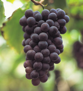 Black Spanish Southern Wine Grape Vine
