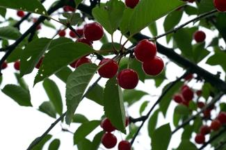 Sand Cherry Tree