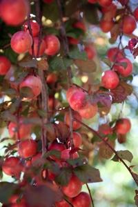 American Plum Seedling