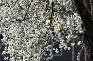 Bradford Flowering Pear Tree