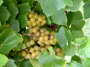 Blanc du Bois Grape Vine