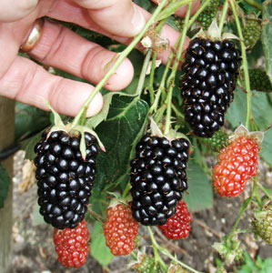 Black Butte Blackberry Plant
