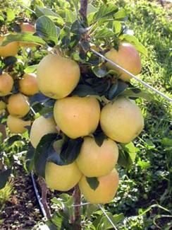 Garden Delicious Apple Dwarf