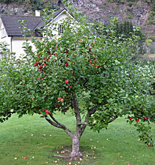 Garden Delicious Apple Dwarf