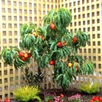 Leprechaun Dwarf Nectarine Tree