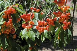 Rainier Cherry Tree