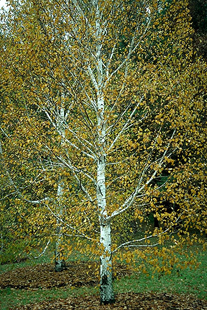 Japanese White Birch