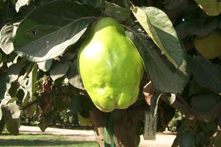 Cooke's Jumbo Quince Tree