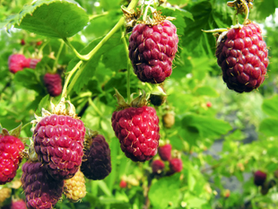 Indian Summer Red Raspberry Plant