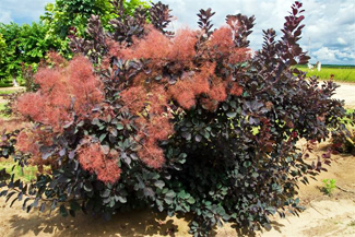 Cooke's Purple Smoke Tree