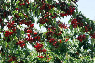 Tulare Cherry Tree