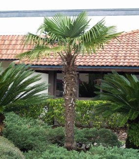 Windmill Palm Tree