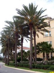 Medjool Date Palm Tree