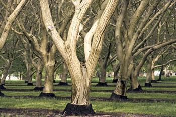 Chandler Walnut Tree