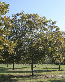 Osage Pecan Tree
