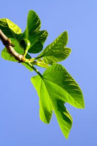 Celestial Fig Tree