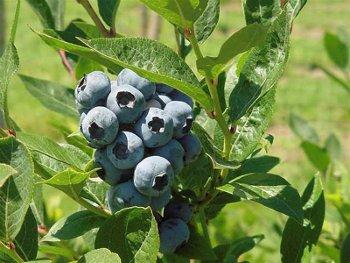 Brigitta Northern Highbush Blueberry