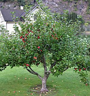 Garden Delicious Apple
