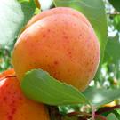 Garden Annie Dwarf Apricot Tree