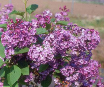 Pocahontas Lilac Tree