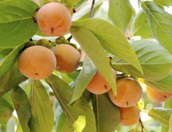 Izu Persimmon Tree