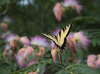 Mimosa Silk Tree