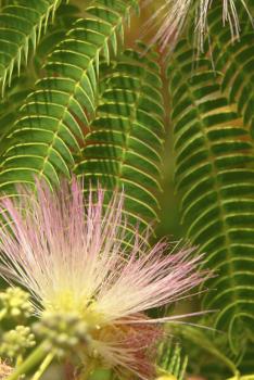 E H Wilson Mimosa Tree