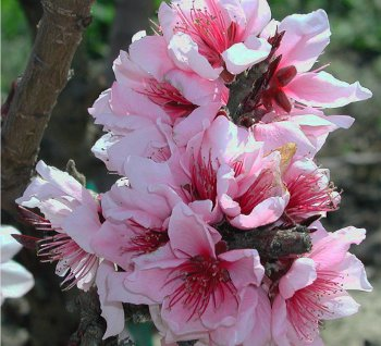 Bonfire Dwarf Peach Tree