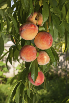 Sam Houston Peach Tree