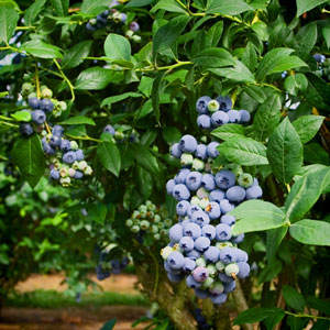 Climax Blueberry Plant