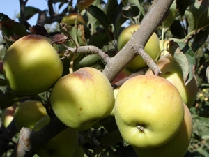 Dwarf Golden Delicious Apple Tree