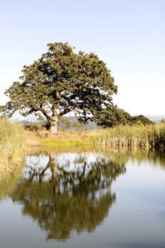 Water Oak Tree