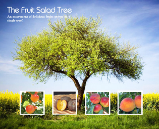 4 In 1 Fruit Salad Tree Willis Orchards