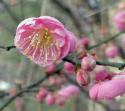 Mume Japanese Apricot Tree