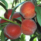 FlordaPrince Peach Tree