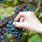 Eastern Concord Bunch Grape Vine