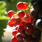 Flame Bunch Grape Vine