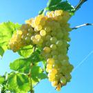 Thompson Bunch Grape Vine