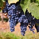 Merlot Wine Grape Vine