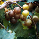 Bronze Higgins Scuppernong