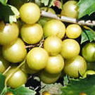 Bronze Southern Sweet Scuppernong