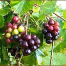Black Hunt Muscadine