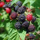 Nectar Boysenberry Plant