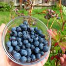 Southern Highbush Blueberry Plant