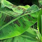Cavendish Banana Plant